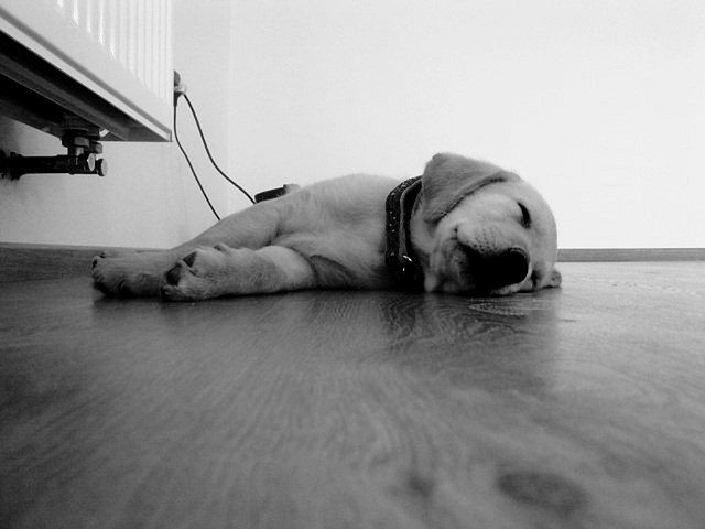 spící pes