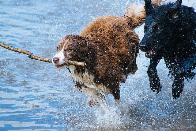 hrající si psy.jpg